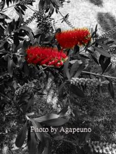 fiori rossi su sfondo bianco e nero