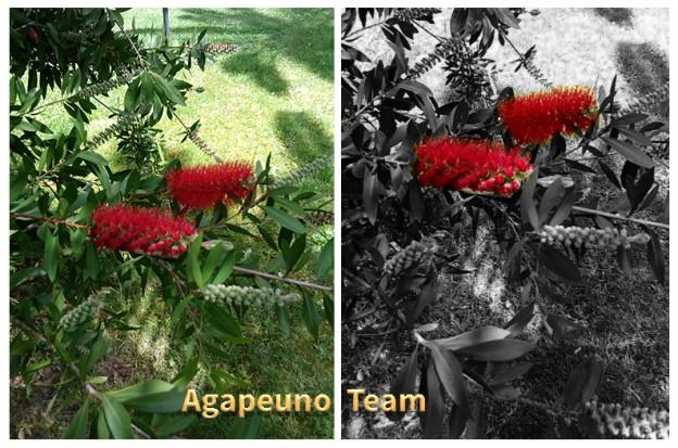 fiori rossi su sfondo colorato o in bianco e nero